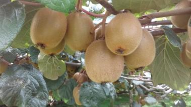 Green kiwifruit ready to harvest