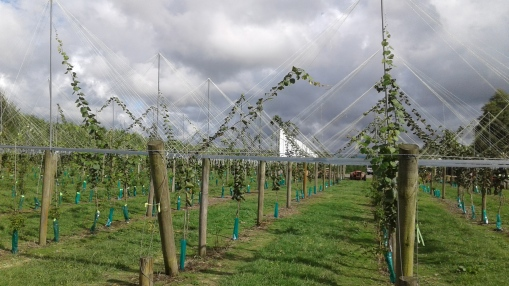 Visit to a new kiwifruit orchard